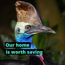 Cassowary-home-is-worth-protecting
